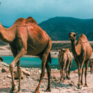 Quand tu veux faire du chameau à Oman